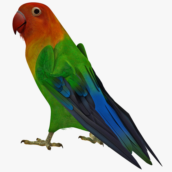lovebird rigged plumage pets animal animals wings bird zoo exotic pet parrot vray