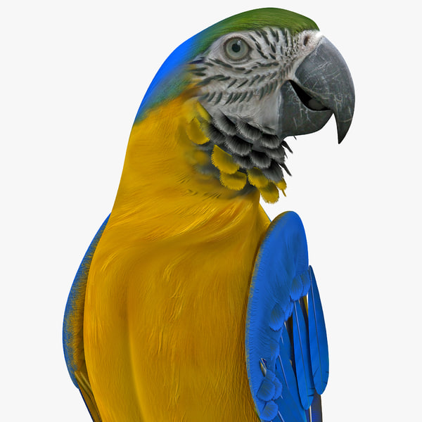 Blue and Gold Macaw Rigged yellow parrot Neotropical tropical tropic aviculture vray pet zoo