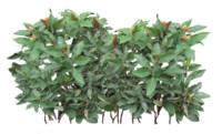 Costus Erythrophyllus