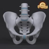 3d male pelvis model