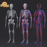 3d model skeleton circulatory