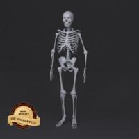 3d model skeleton human man