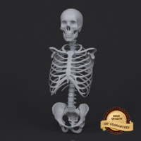 3d model torso skeleton