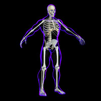 x-ray skeleton rigged realistic male ma