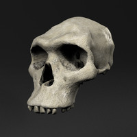 early hominid skull 3d model