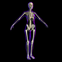 3d x-ray skeleton female rigged model