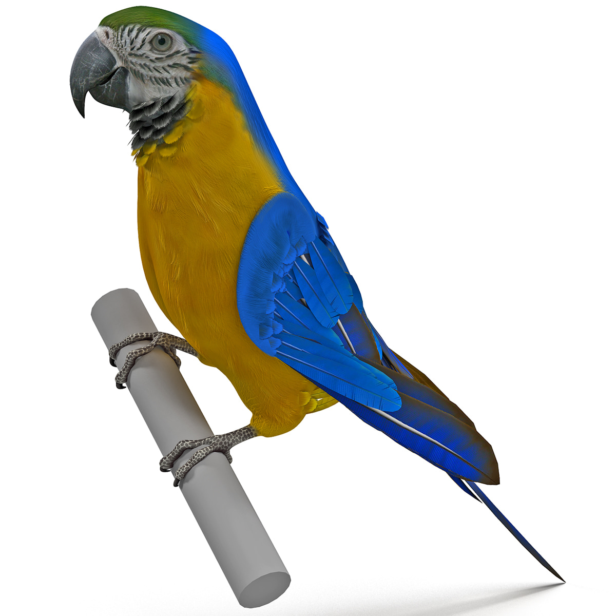 Blue and Gold Macaw Pose 2_14.jpg