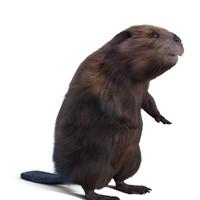 3d model beaver
