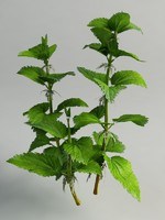 3d urtica dioica nettle model