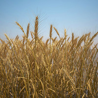 Durum Wheat Field