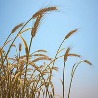 Emmer Wheat Field