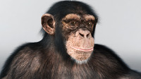 3ds max chimpanzee animation