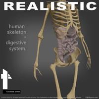 3d human skeletal digestive