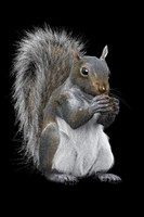 3d squirrel modelled modo
