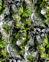 Mossy tree bark 22