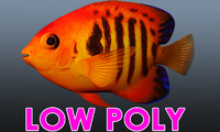 x flame angel fish