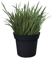 grass plant x