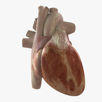 3d rigged human heart