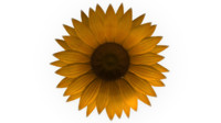 3d model achene fruit sunflower