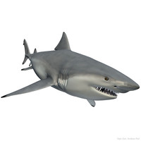3d realistic male bull shark model
