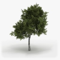 3d model of realistic hi-poly birch tree