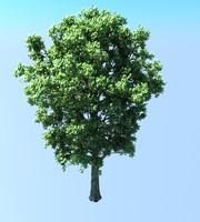 Populus Tree