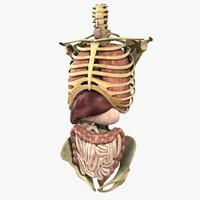 maya anatomy study torso
