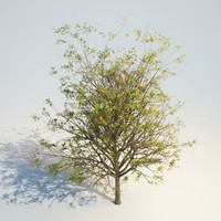 ash-tree tree max