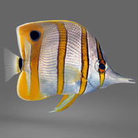 max copperband butterflyfish fish