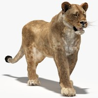 lioness rigged fur animation 3d model