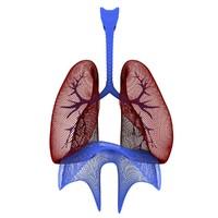 3d human respiratory model