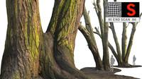 Acacia tree 5