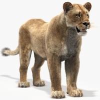 maya lioness fur
