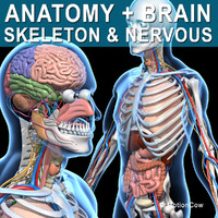 Skeleton, Anatomy & Nervous System