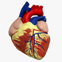 3d anatomy human heart model