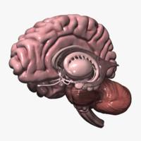 maya human brain