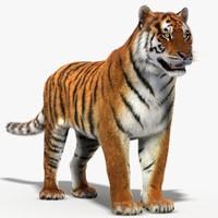 amur siberian tiger 3d model