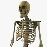 3d model skeleton rigged body bone