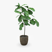 a Fiddle Leaf Fig Ficus