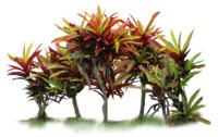 Garden croton, Codiaeum variegatum