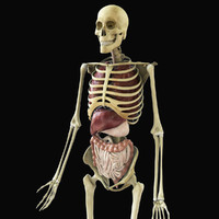 3d model of rigged skeleton organs