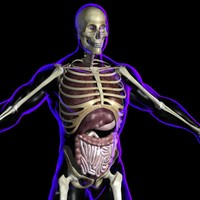 3d model xray organs rigged male