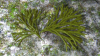 3d model codium seaweed