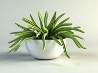 huernia cactus in pot