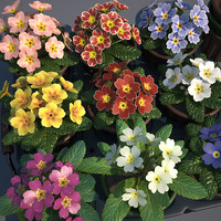 common primrose pots flowering 3d model