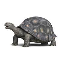 tortoise obj