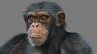 3d chimpanzee animation