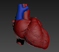 obj anatomy heart