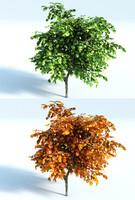 max vine maple tree acer