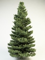white fir 10 3d obj